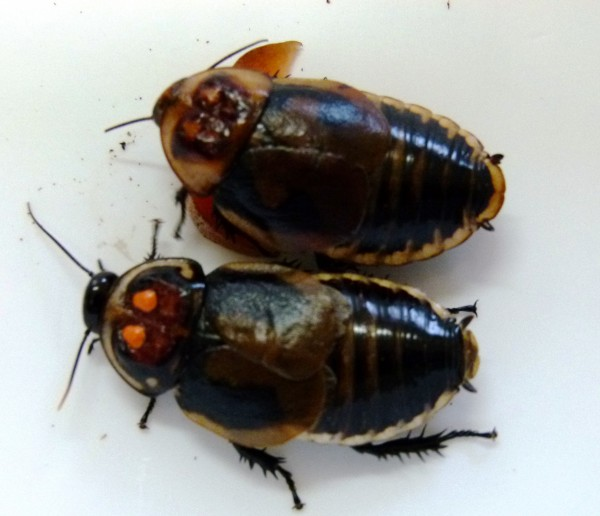 Lucihormetica verrucosa 20 Stück